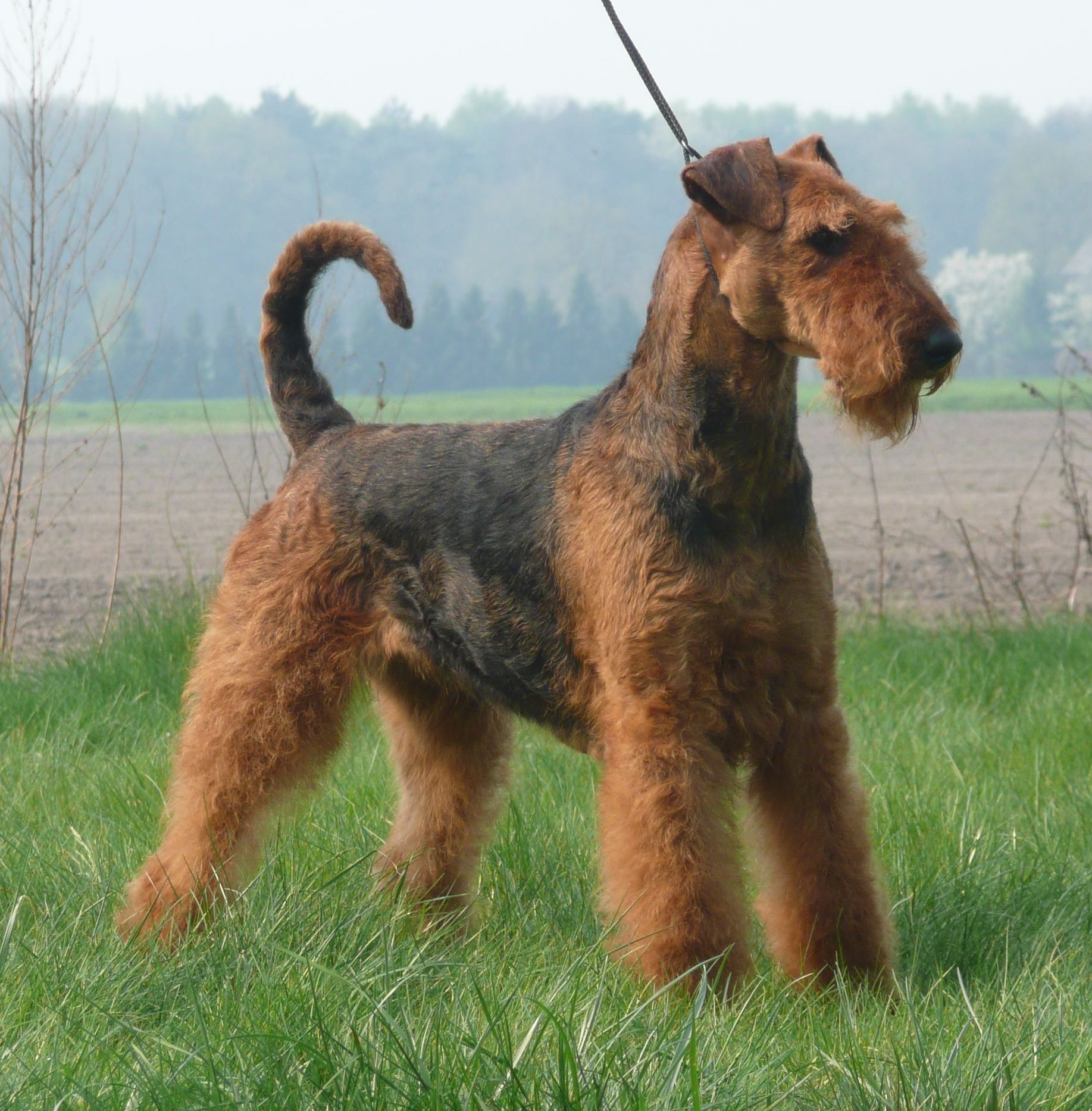 Welsh Terrier Rescue Dogs