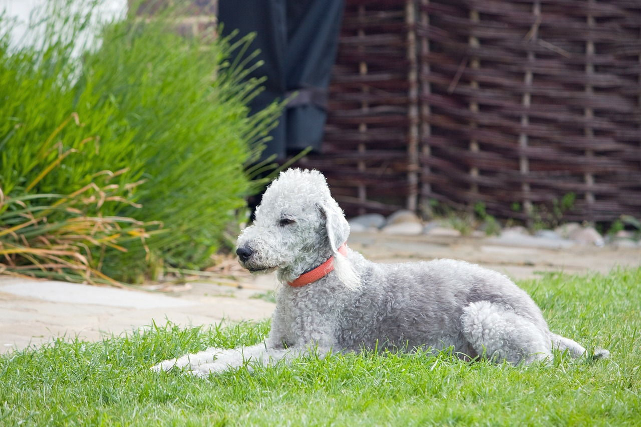 Bedlington Terrier Puppies Rescue Pictures