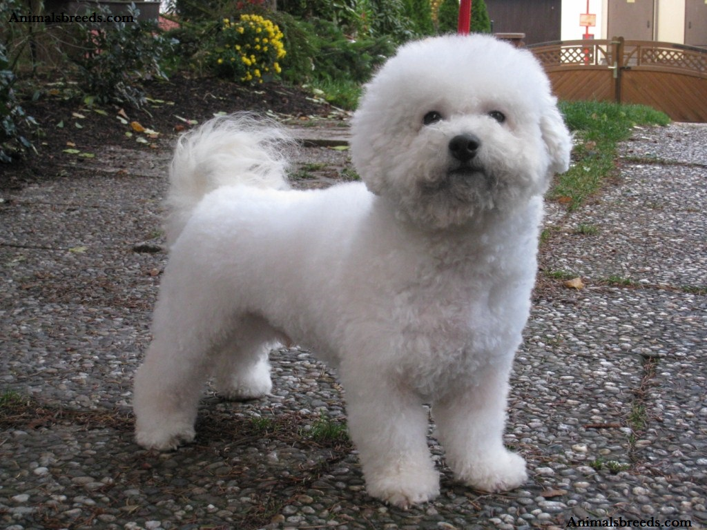 Bichon Frise Puppies Rescue Pictures Information