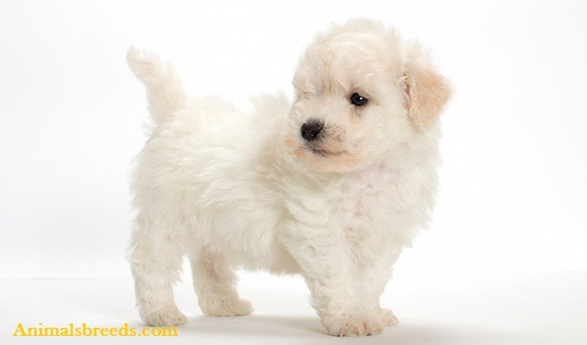 Bichon Frise Dog Names