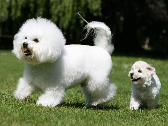 Bichon Frise - Puppies, Rescue, Pictures, Information, Temperament ...