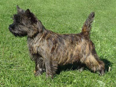 Cairn Terrier Puppies Rescue Pictures Information