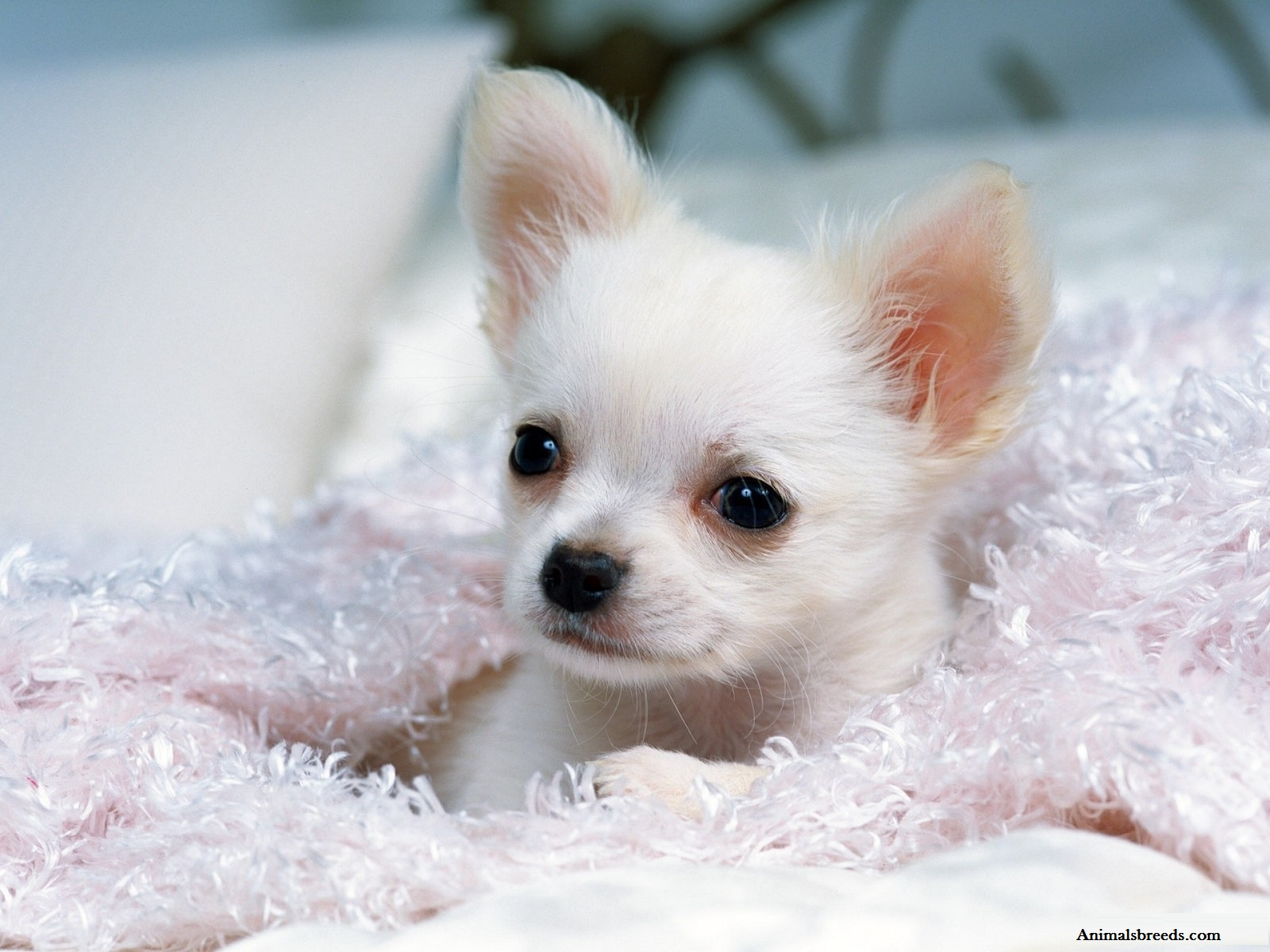 Chihuahua - Puppies, Rescue, Pictures, Information ...