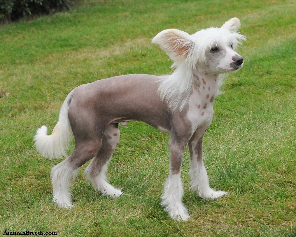 Chinese Crested - Puppies, Rescue, Pictures, Information ...