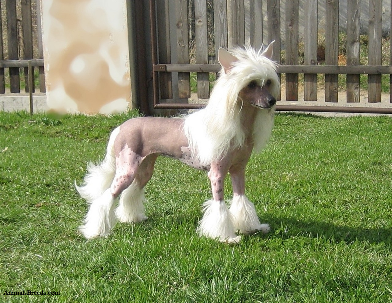 Chinese Crested Food