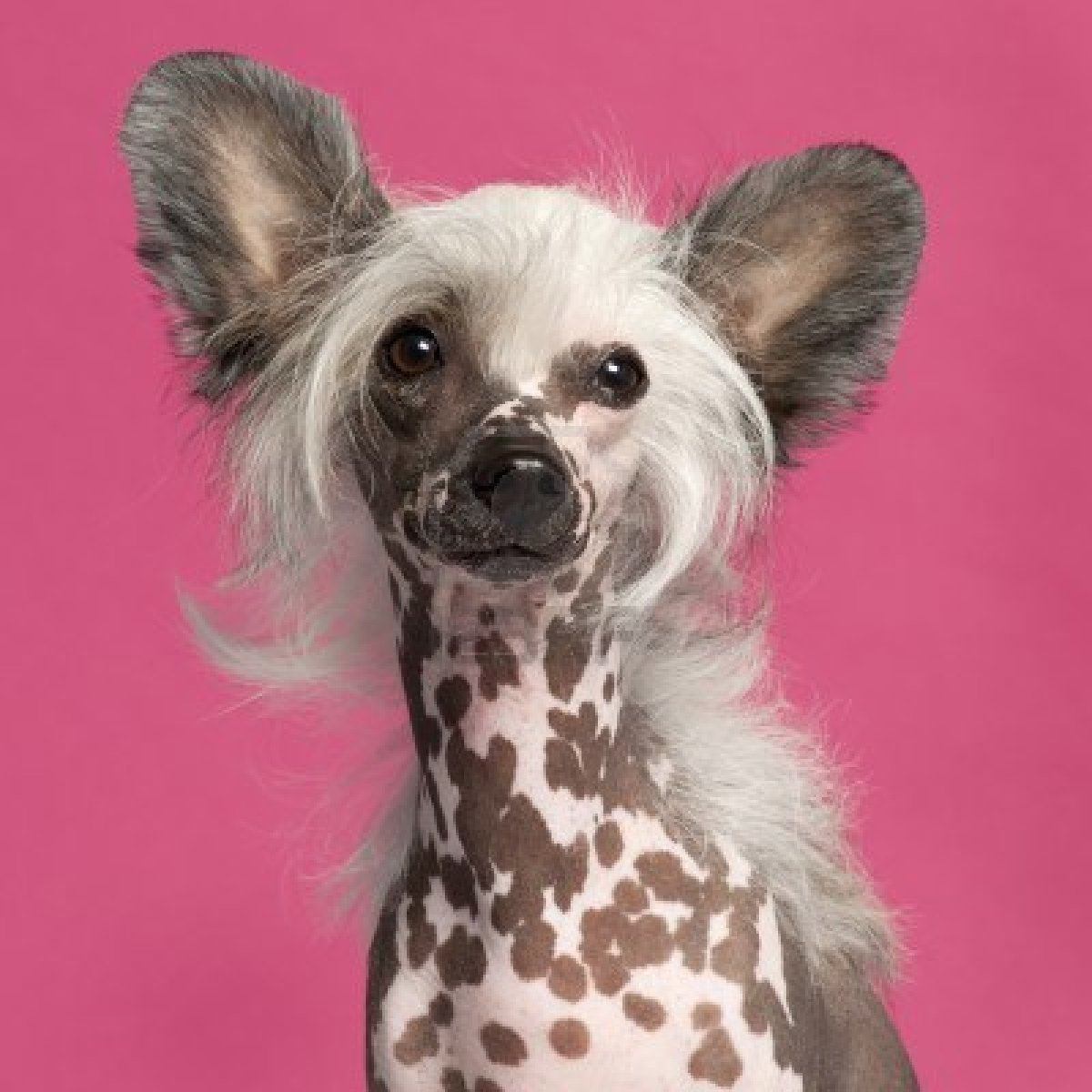 Chinese Crested Puppies Rescue Pictures Information