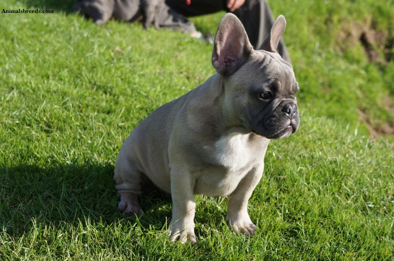 What Is The Best Food For French Bulldogs