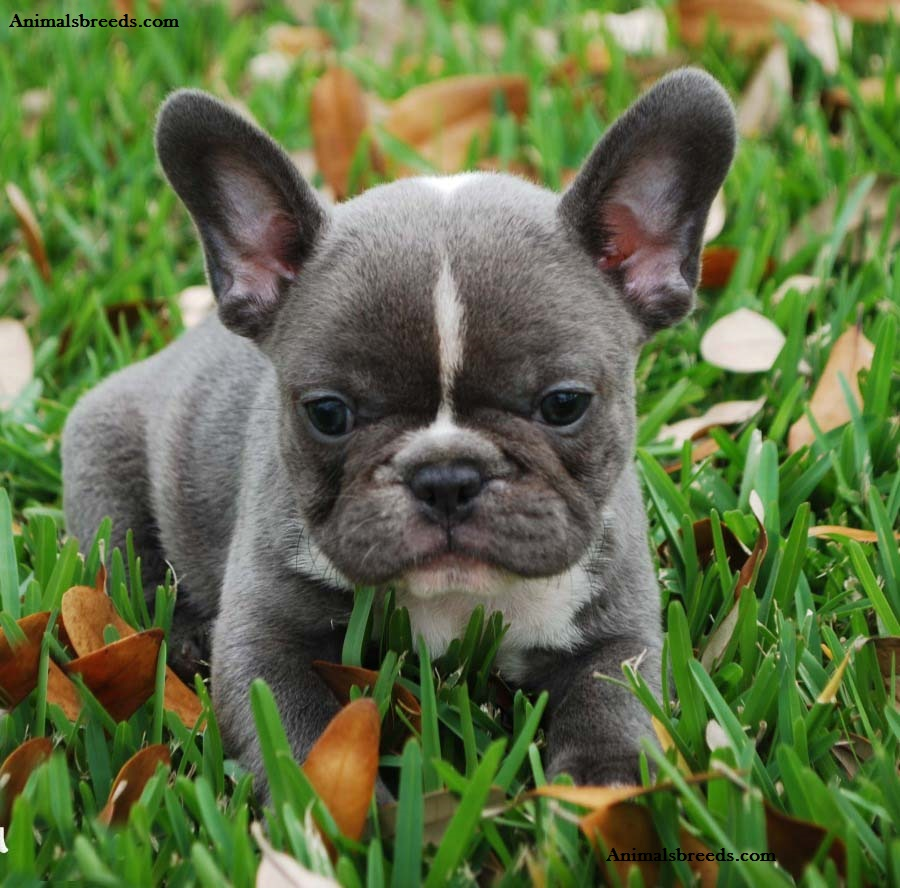 French Bulldog Puppies Rescue Pictures Information