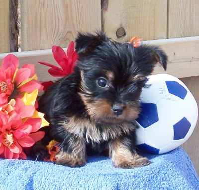 Silky Terrier Puppies Rescue Pictures Information