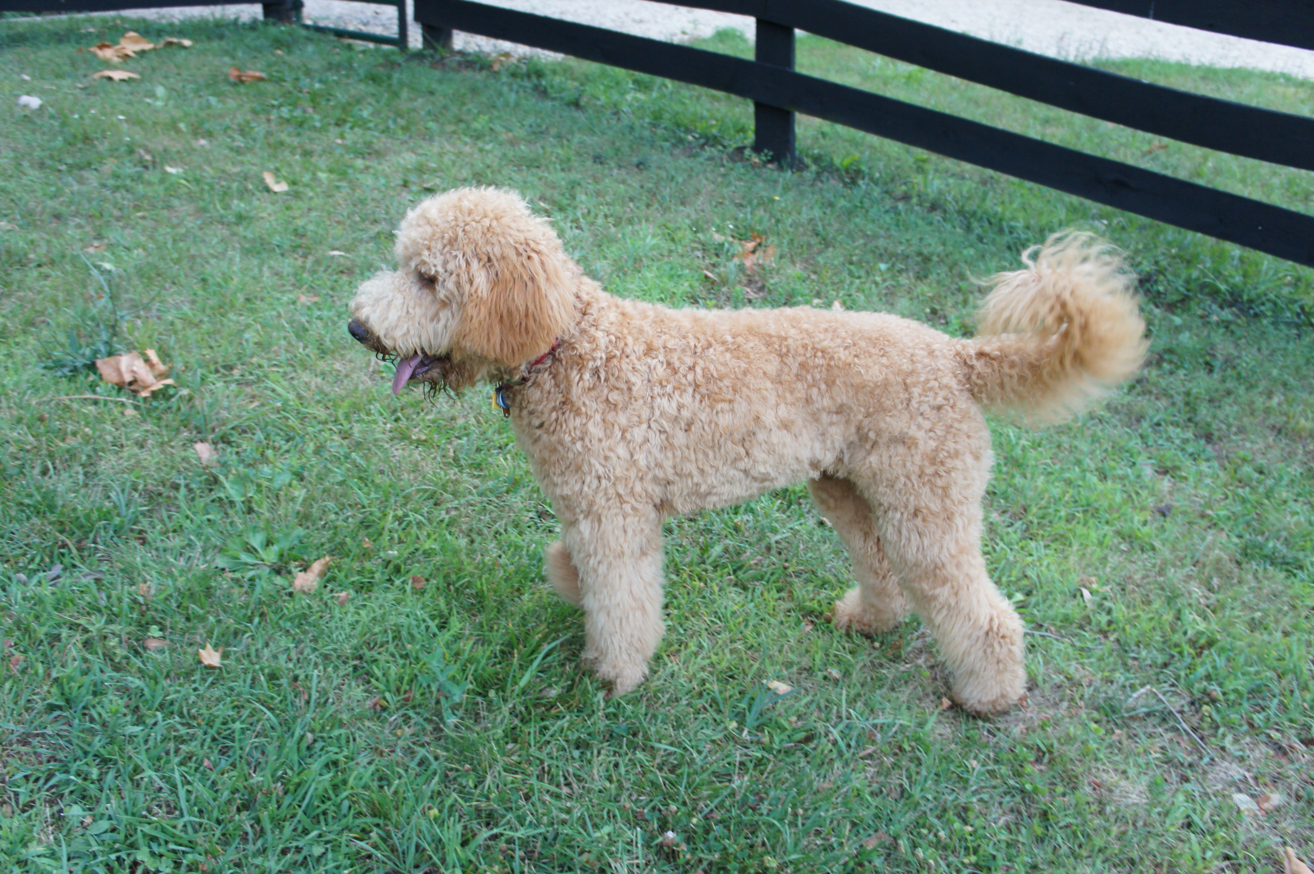 semi short haircut on a goldendoodle goldendoodles goldendoodle puppies rescue pictures information
