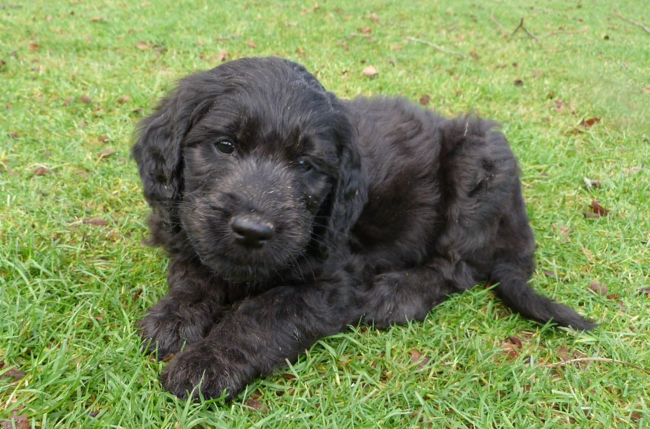 Information and facts of goldendoodle