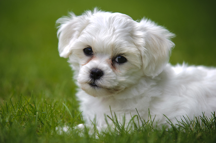 Dogs Like The Havanese In Temperament