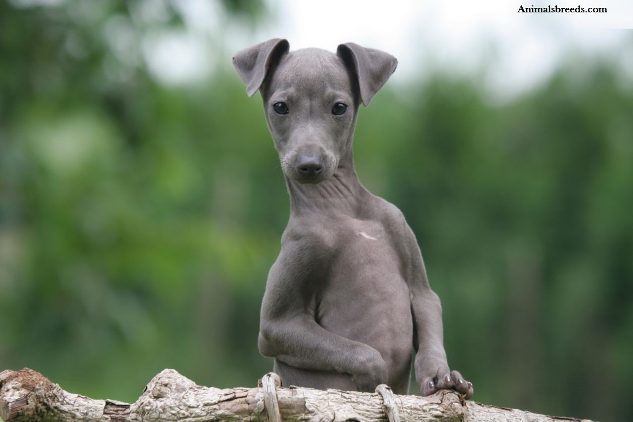 Italian Greyhound  Puppies, Rescue, Pictures, Information, Temperament, Characteristics