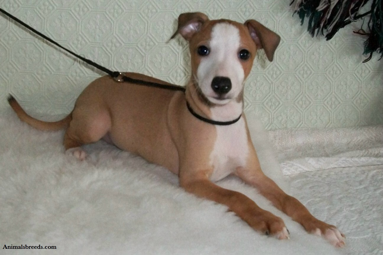 Italian Greyhound - Puppies, Rescue, Pictures, Information ...