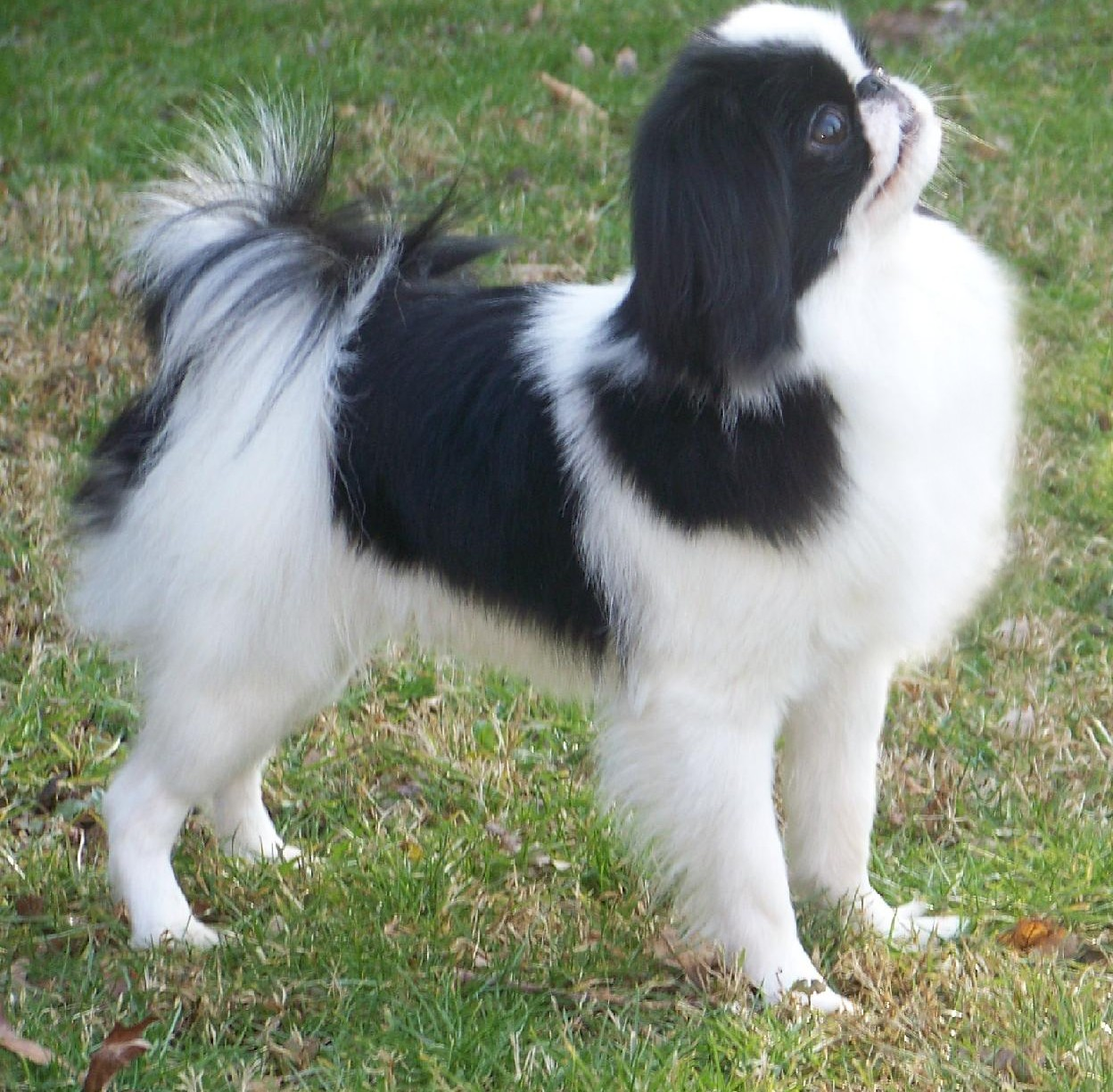 Japanese Chin - Puppies, Rescue, Pictures, Information ...
