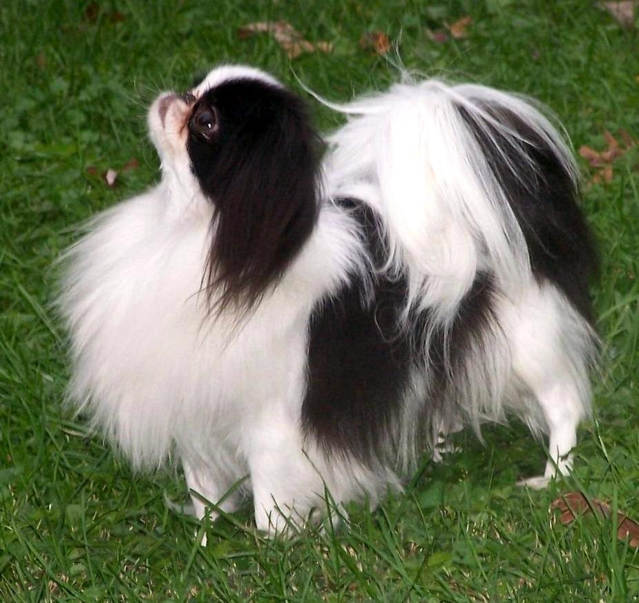 Dogs Japanese Chin Rescue