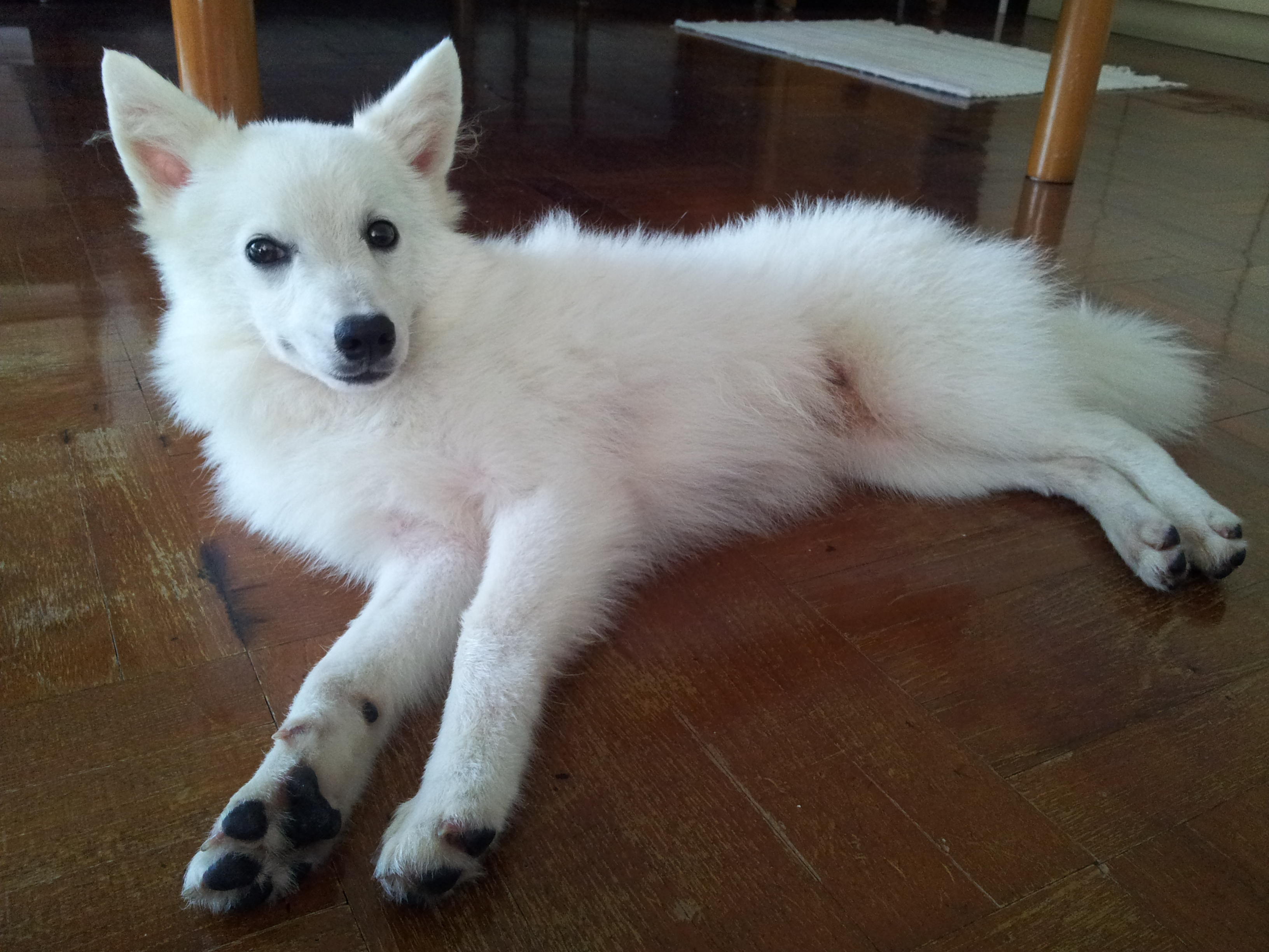 Japanese Spitz Size Www Pixshark Com Images Galleries