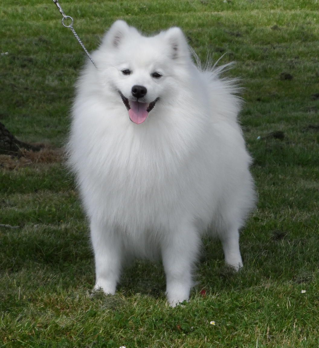 japanese spitz pictures picture dog breeds picture