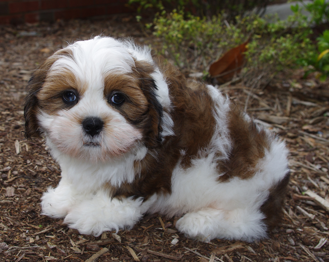 Related Pictures lhasa apso breed information and photos
