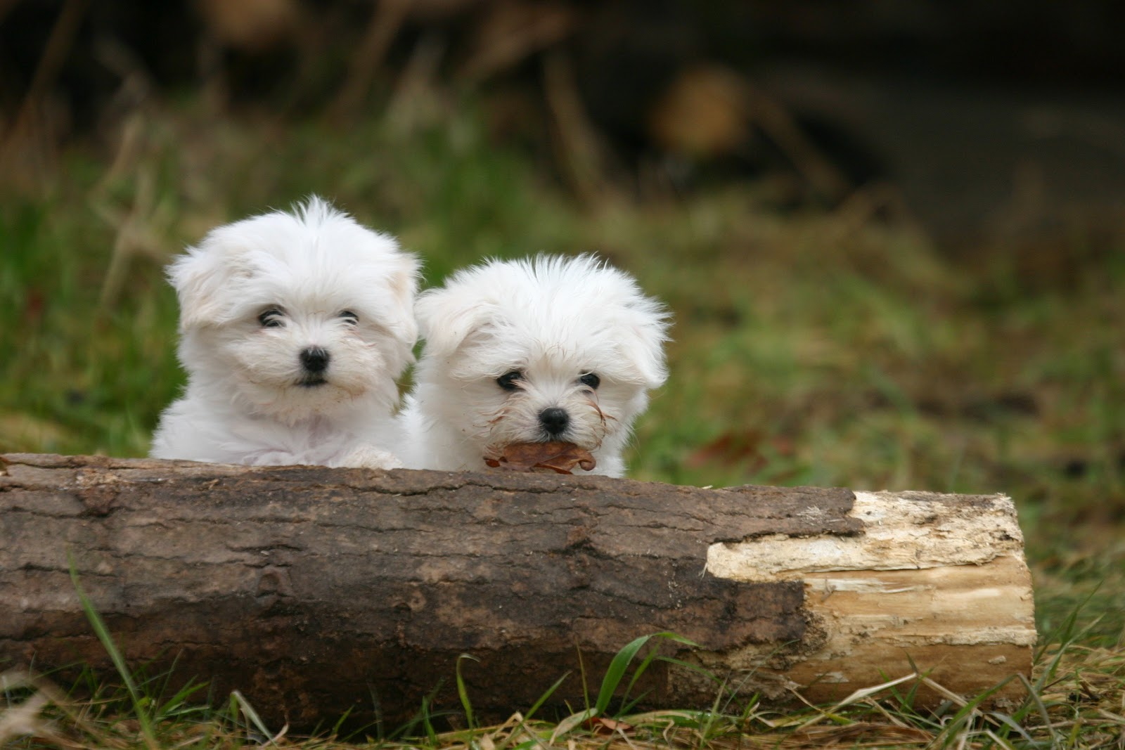 Maltese Dog Puppies Rescue Pictures Information