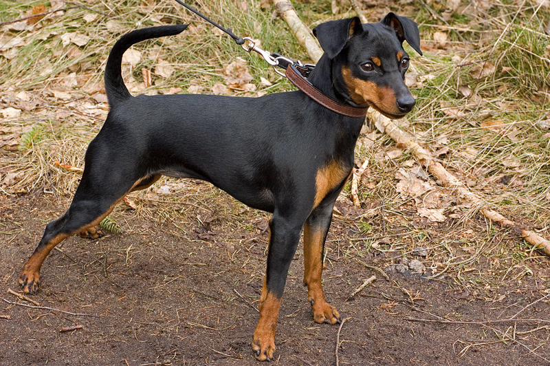 Images, pics, Photos and Pictures of Miniature Pinscher :