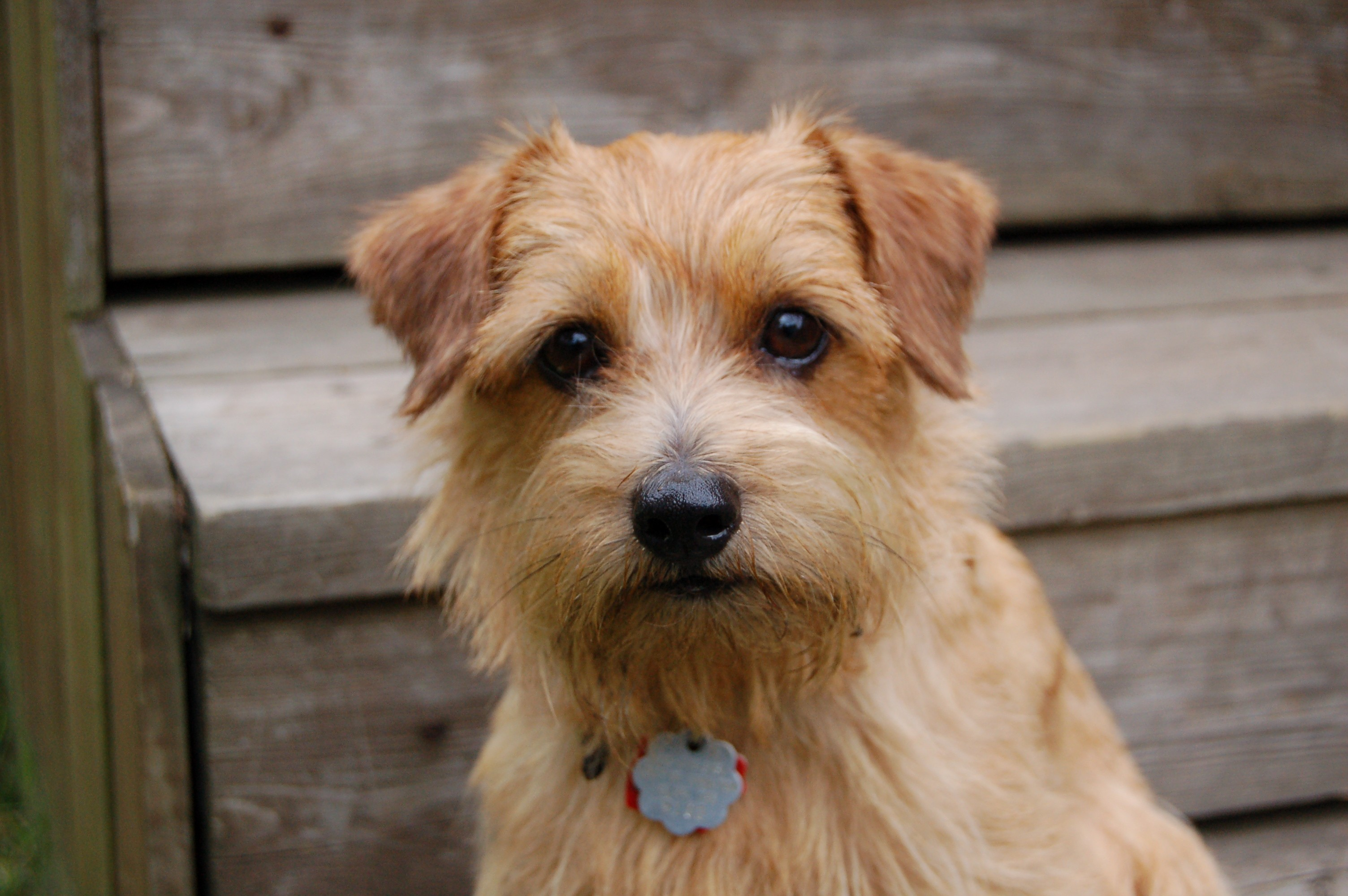 norfolk terrier   puppies rescue pictures information