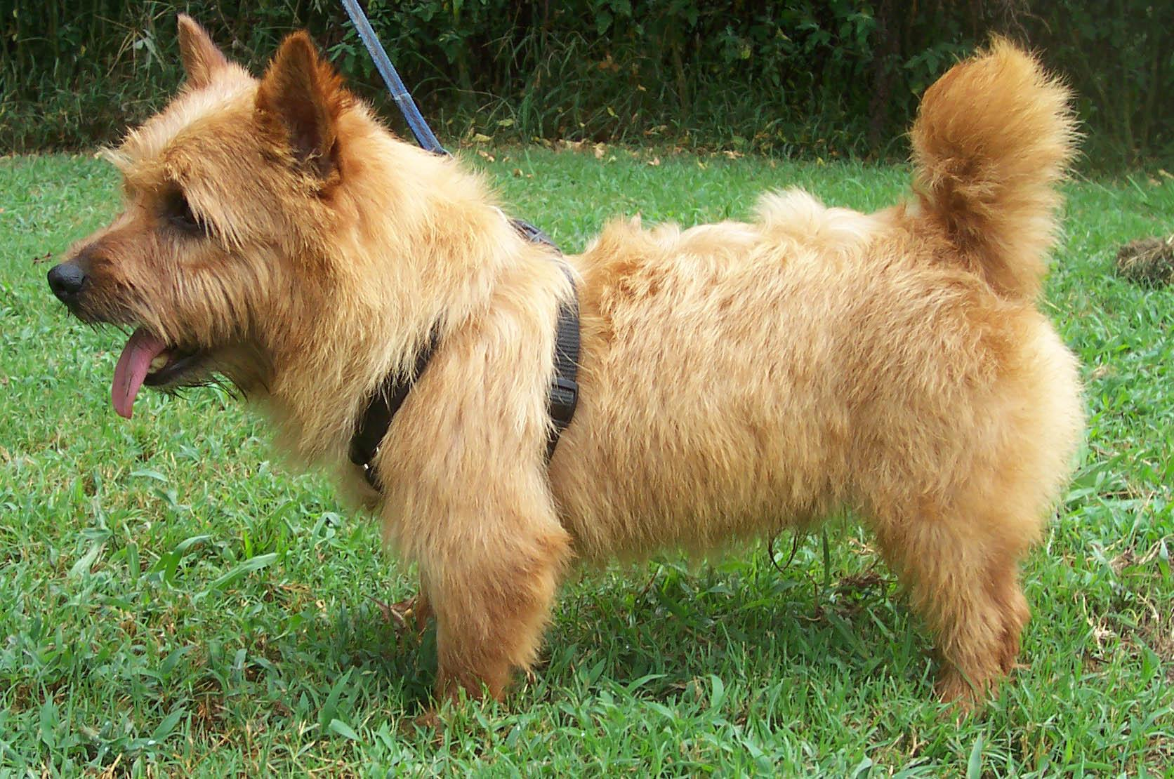 Norwich Terrier - Puppies, Rescue, Pictures, Information ...