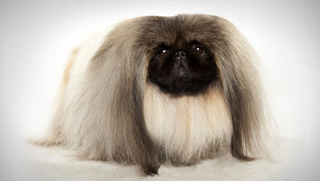 What does a pekingese dog look like