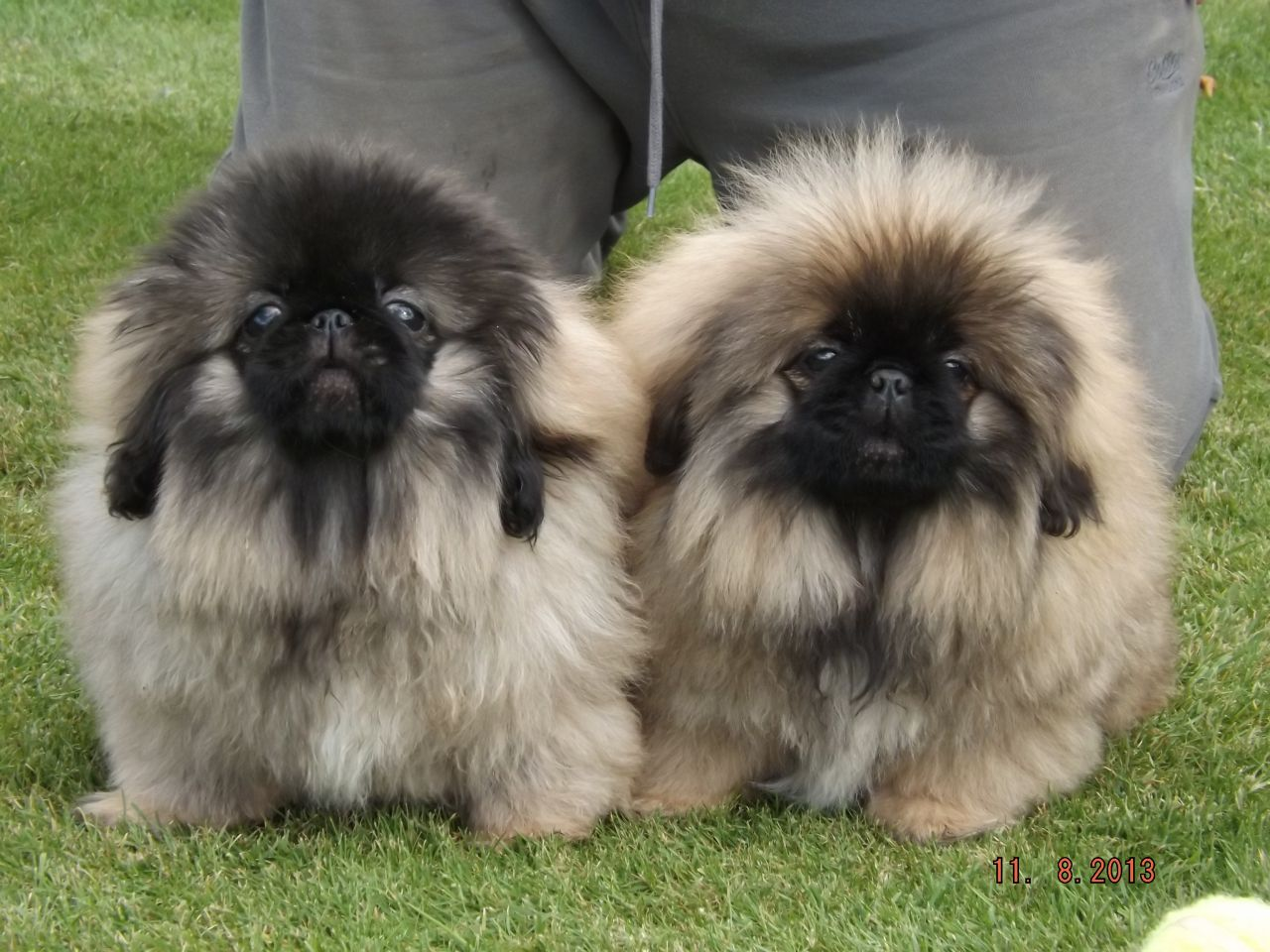 Image result for PEKINGESE pictures