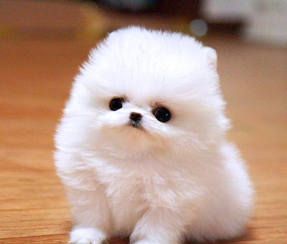 Smallest Toy Dogs : Pomeranian puppies rescue pictures information