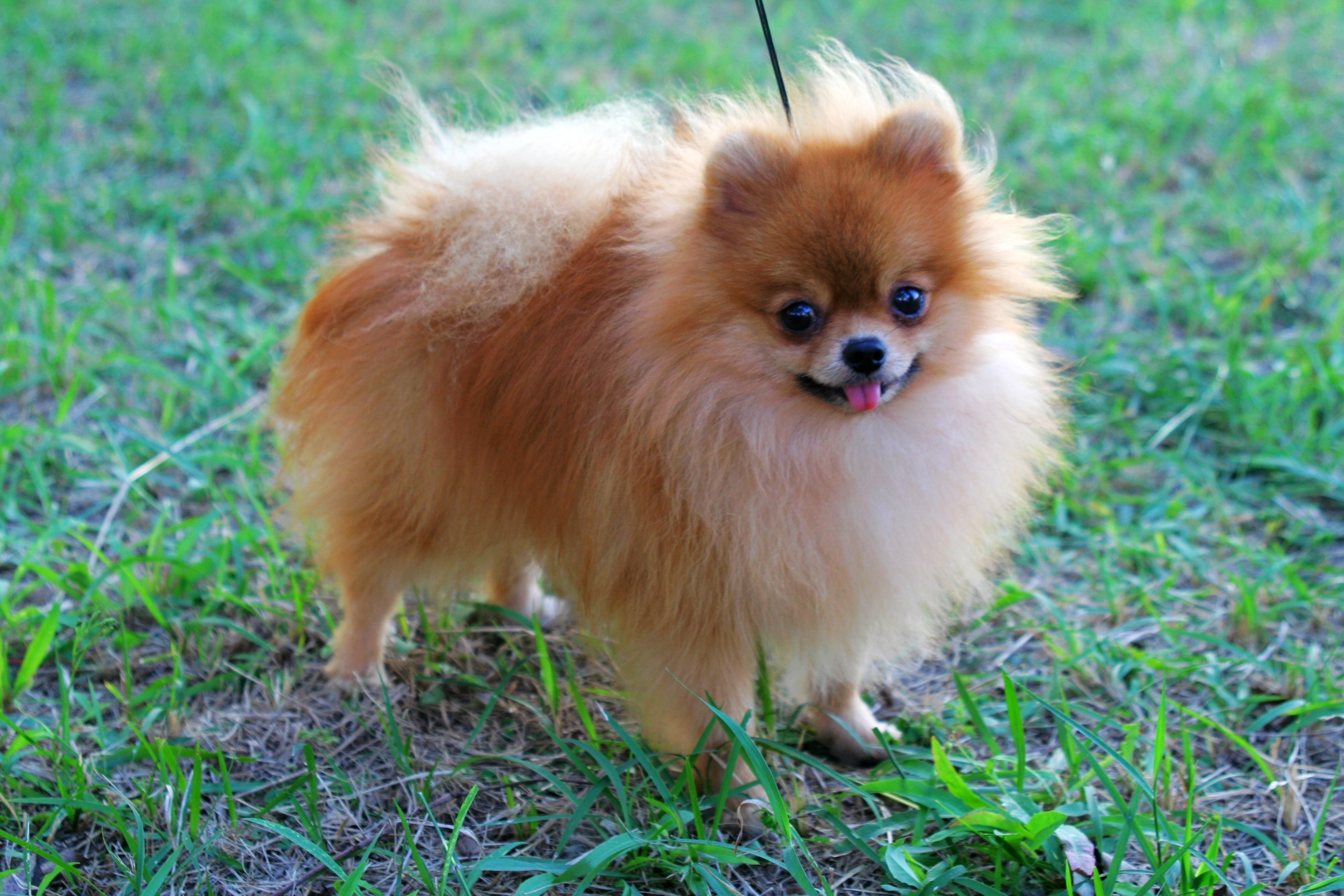 Small Toy Puppies : Pomeranian puppies rescue pictures information