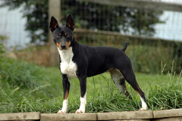 Rat Terrier Dog Food