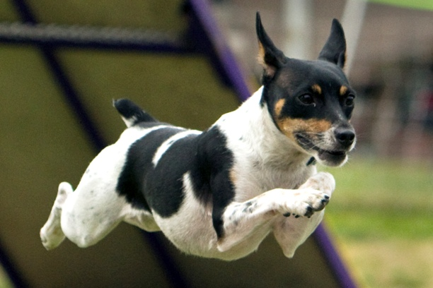Rat terrier breed origin