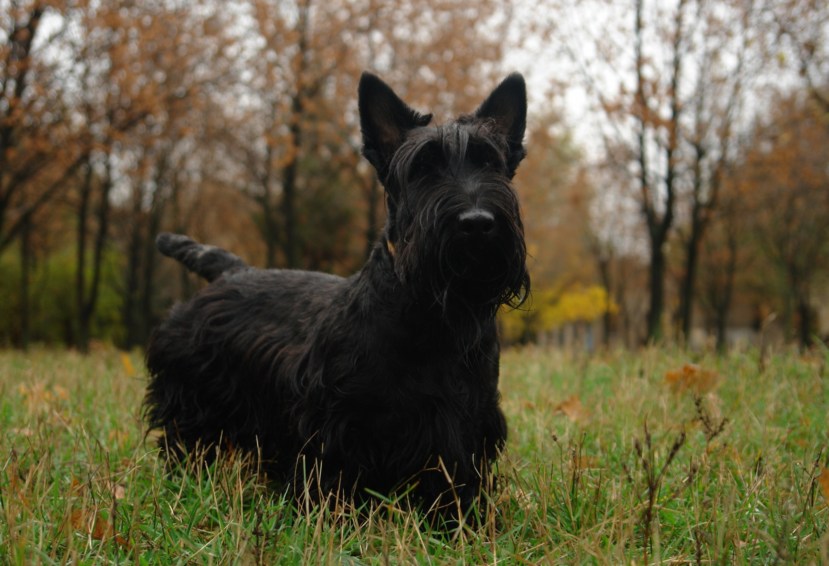 Scottish Terrier Puppies Rescue Pictures Information