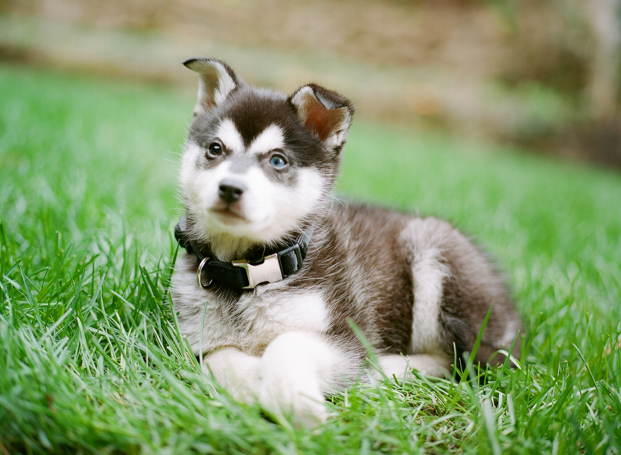 Alaskan Klee Kai  Puppies, Rescue, Pictures, Information, Temperament, Characteristics