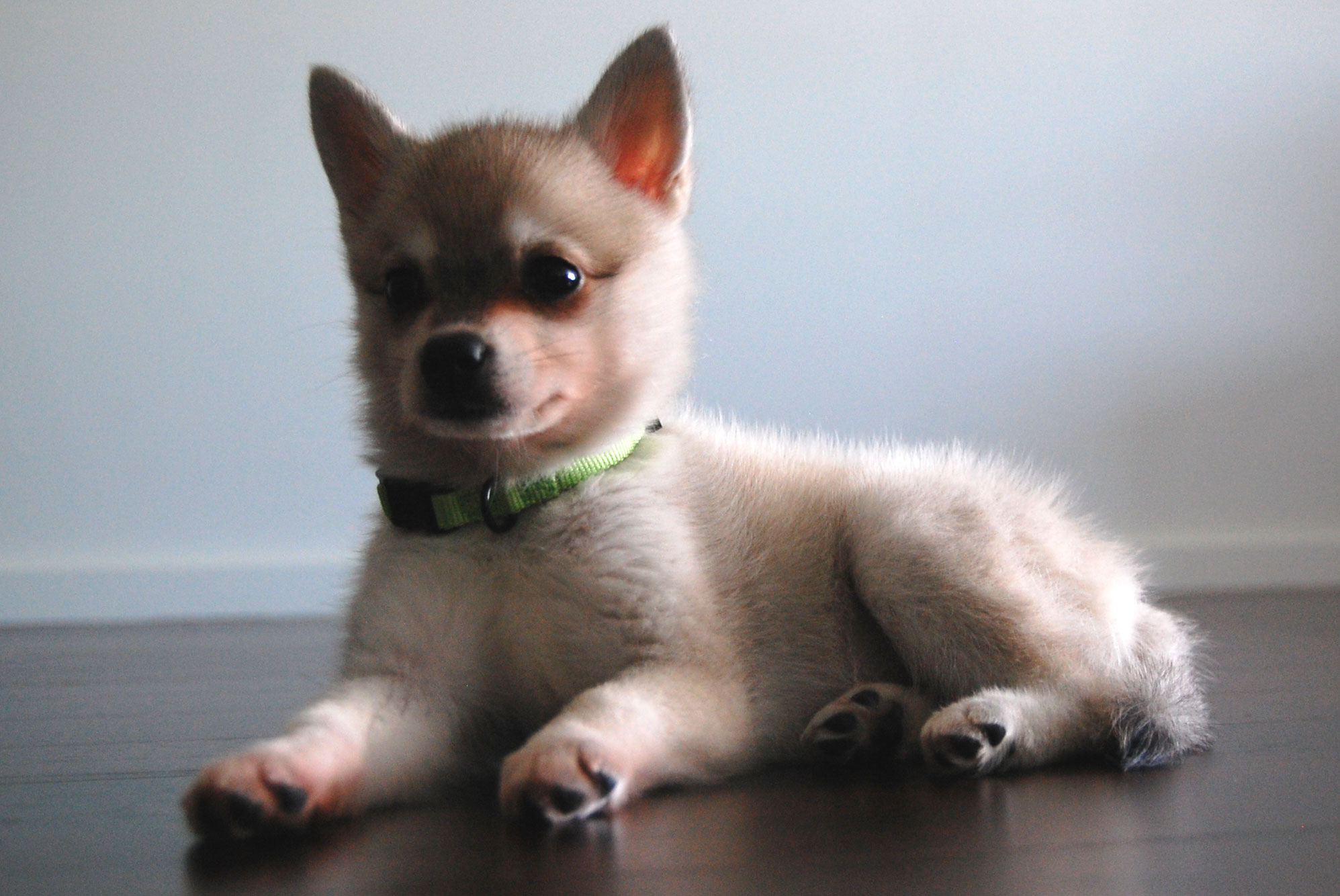 Alaskan Klee Kai Puppies Rescue Pictures Information