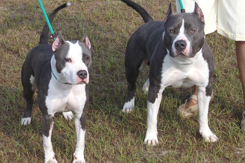 Images, Pics, Photos and Pictures of American Staffordshire Terrier :