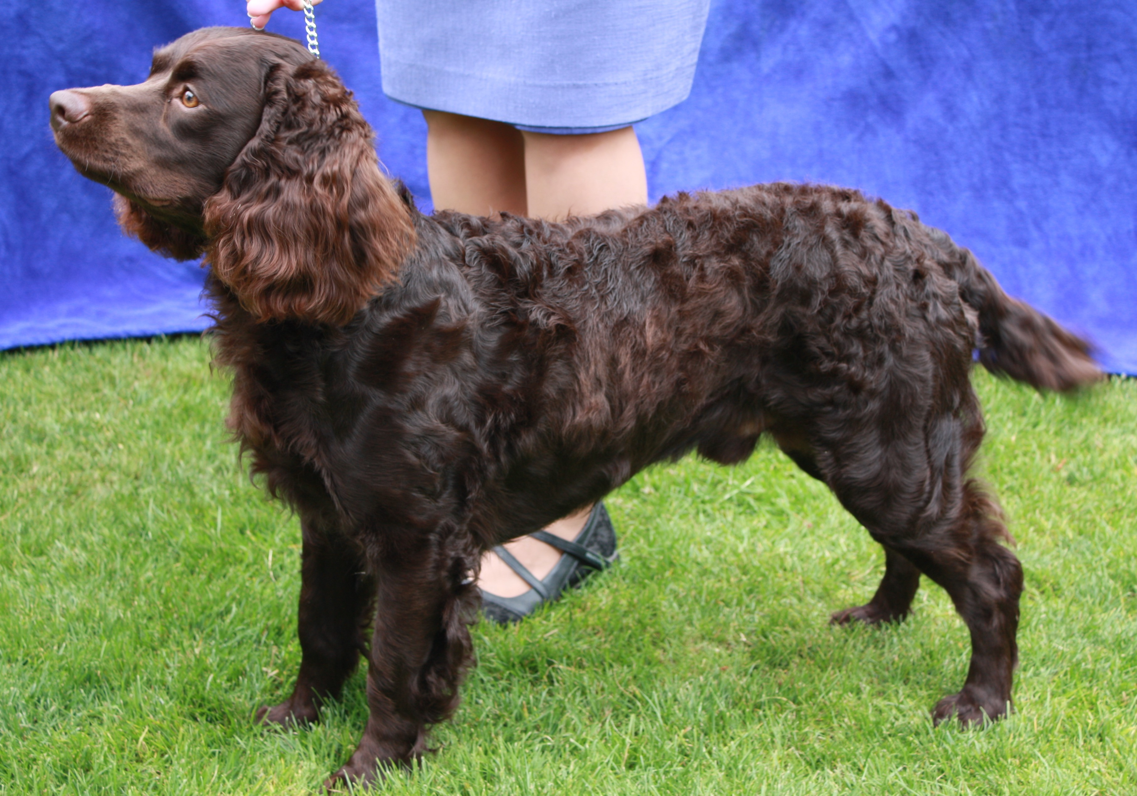 American Water Spaniel Puppies Rescue Pictures