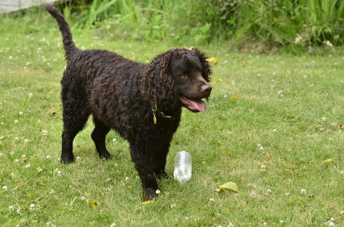 American Water Spaniel - Puppies, Rescue, Pictures ...