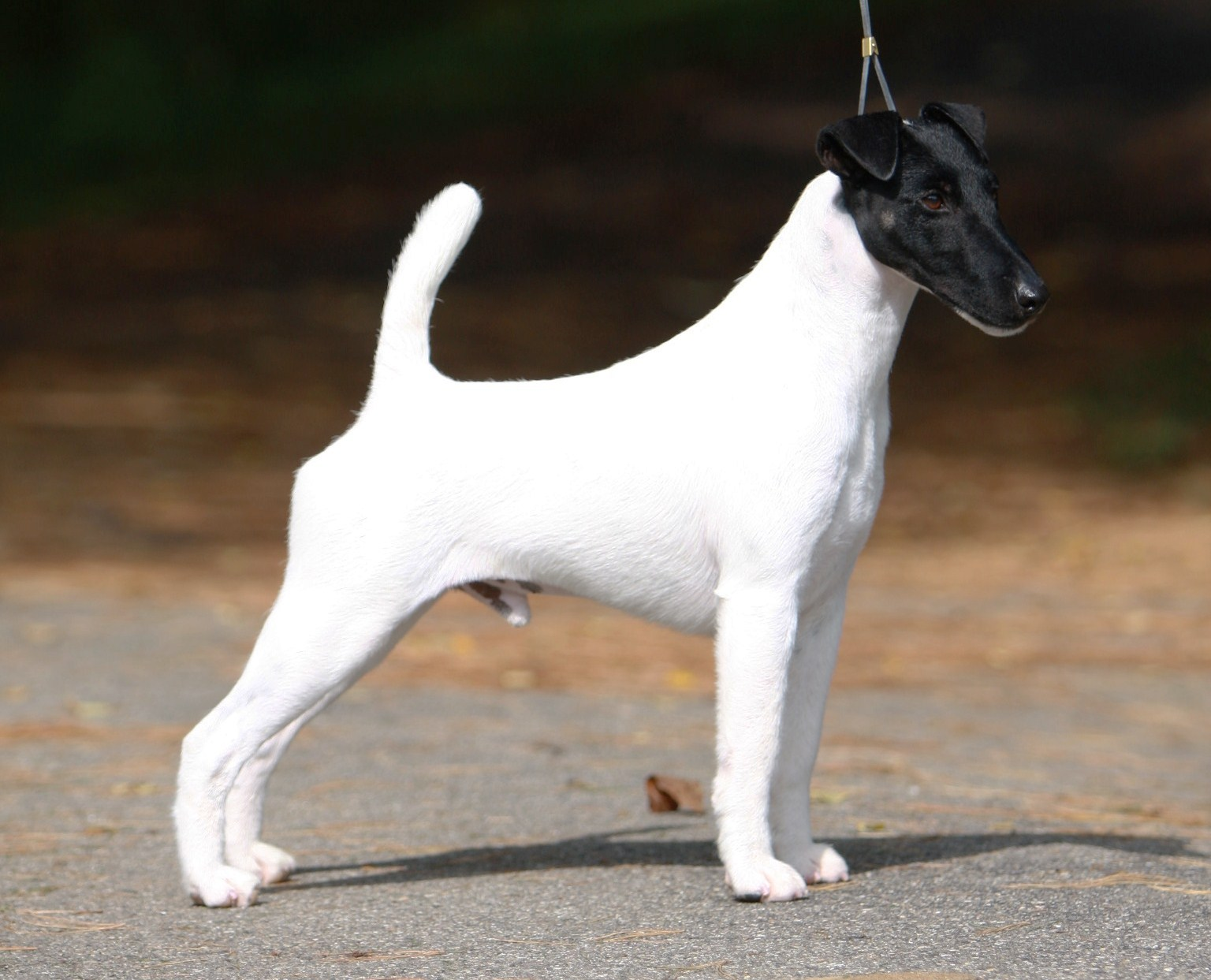 Smooth Fox Terrier Puppies Rescue Pictures