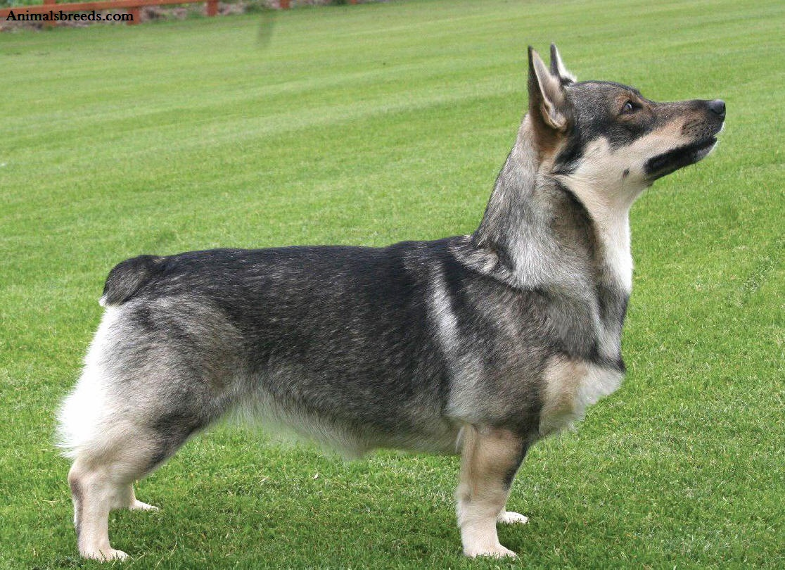 Popular Dog Breeds In Sweden