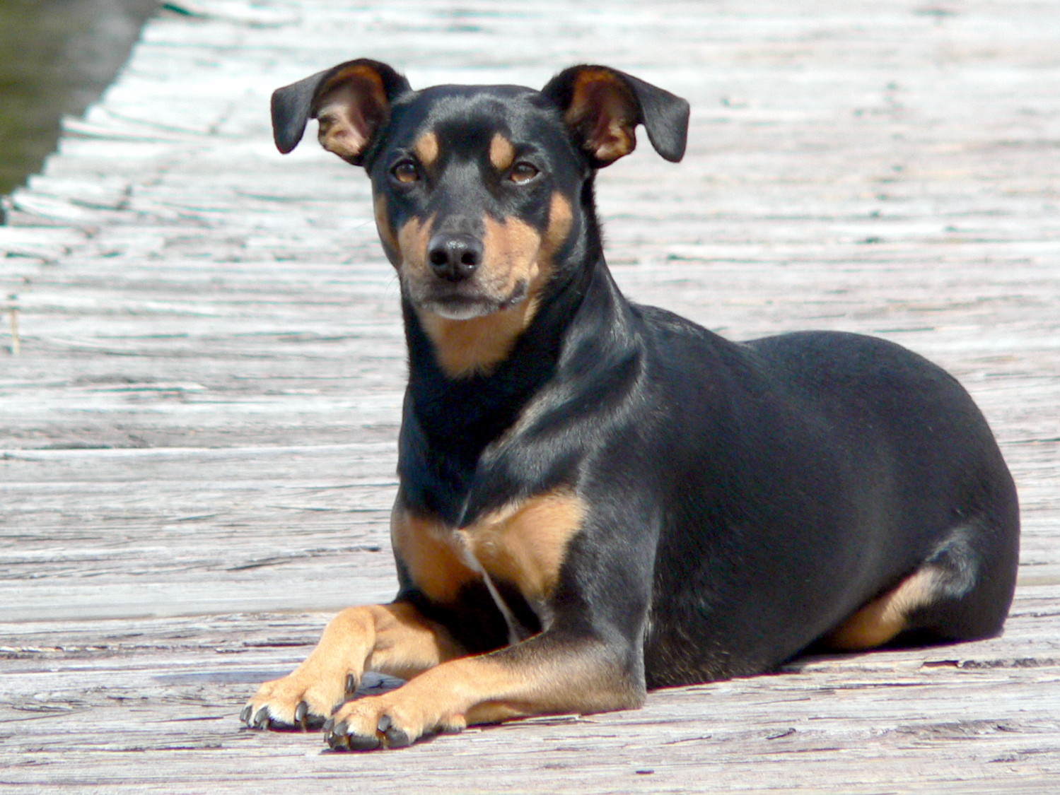 manchester toy terrier - photo #18