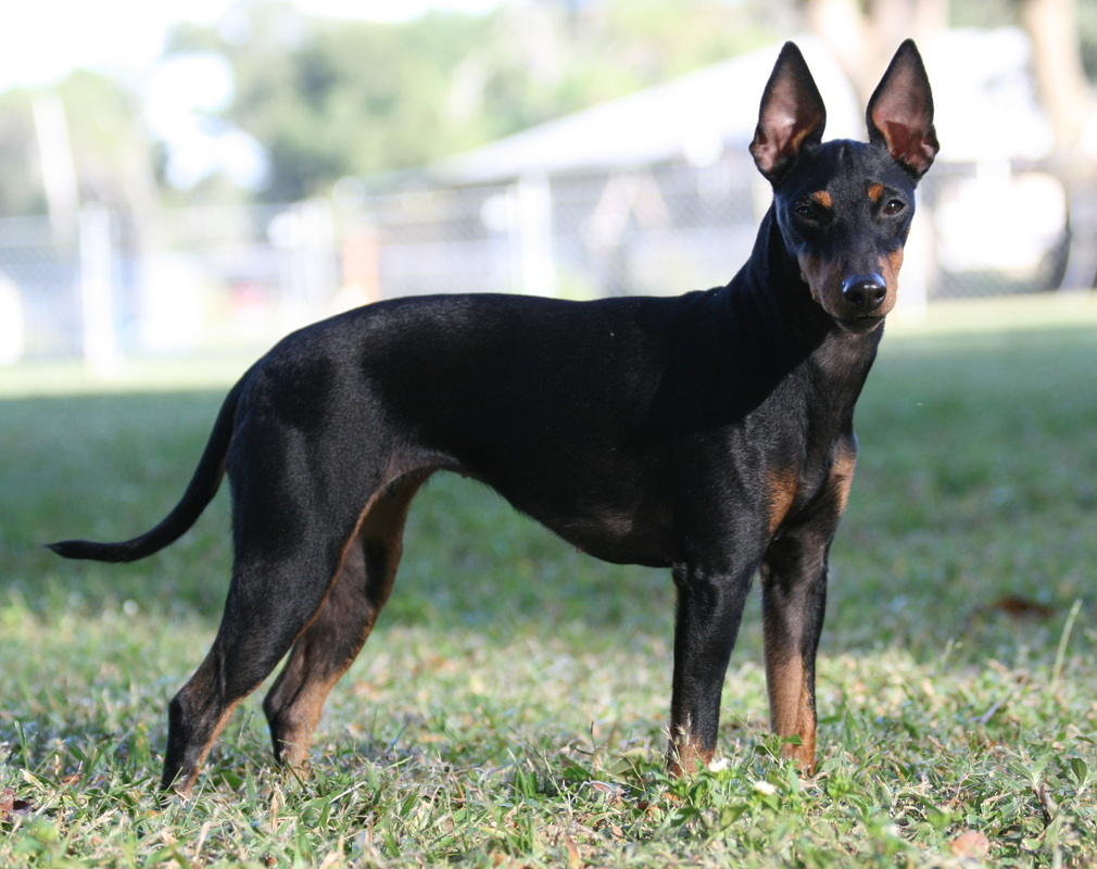 manchester toy terrier - photo #32