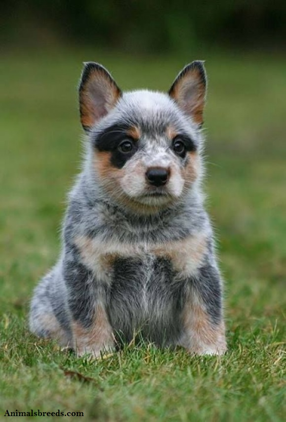 australian cattle dog puppies rescue pictures. Black Bedroom Furniture Sets. Home Design Ideas