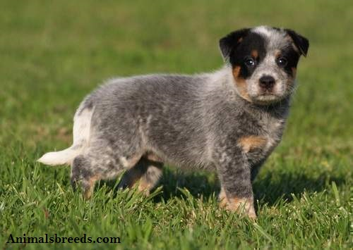 Australian Cattle Dog Puppies Rescue Pictures