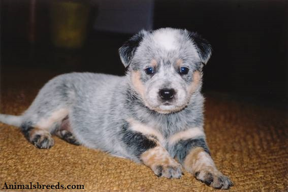 Australian Cattle Dog - Puppies, Rescue, Pictures, Information ...