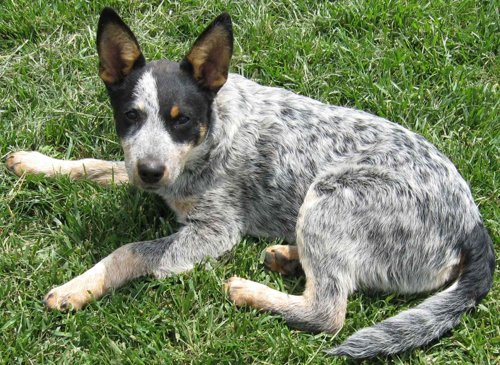 Cattle Dog Training Videos