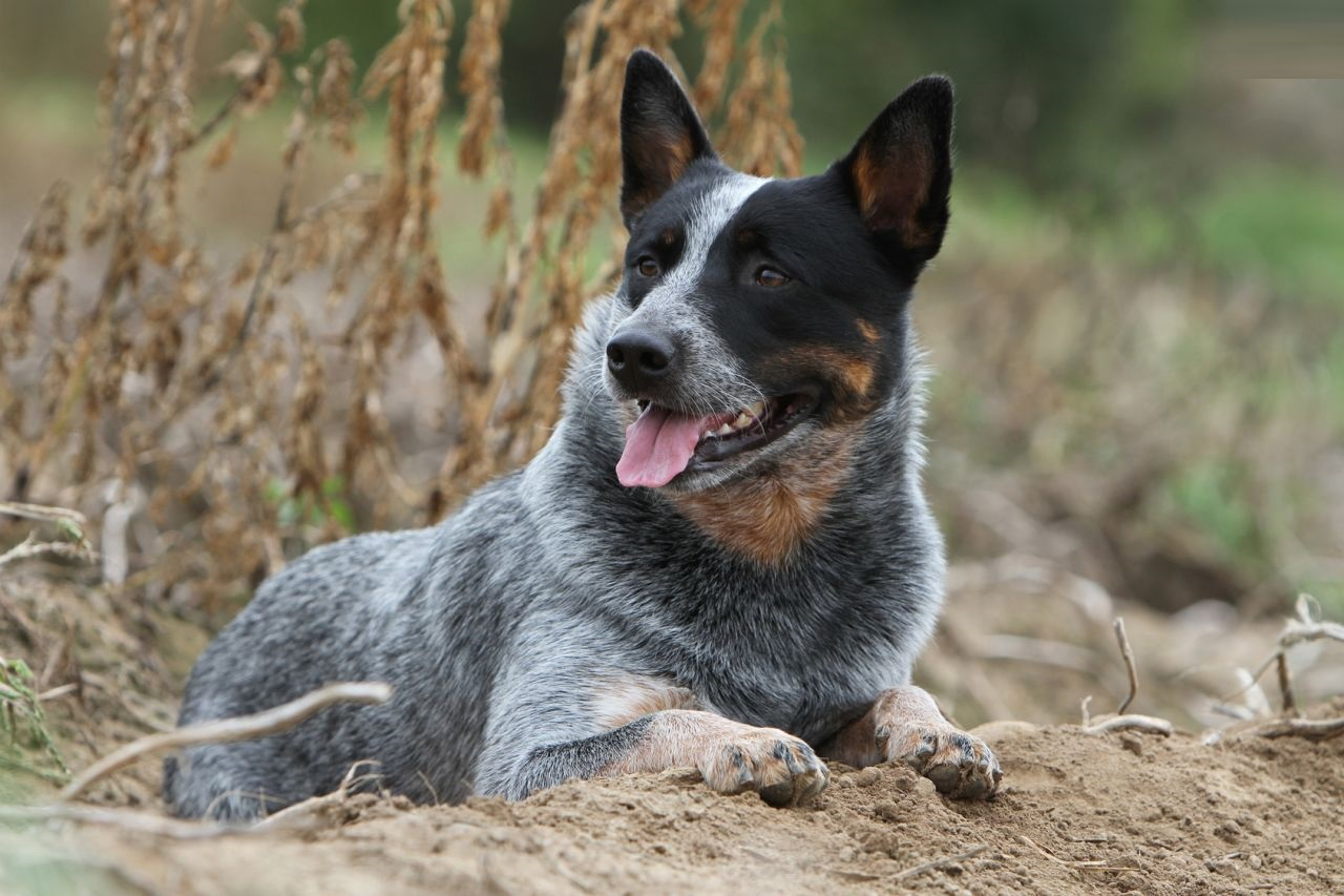 ... - Animal Love Funny Australian Cattle Dogs Playing Tetherball Video