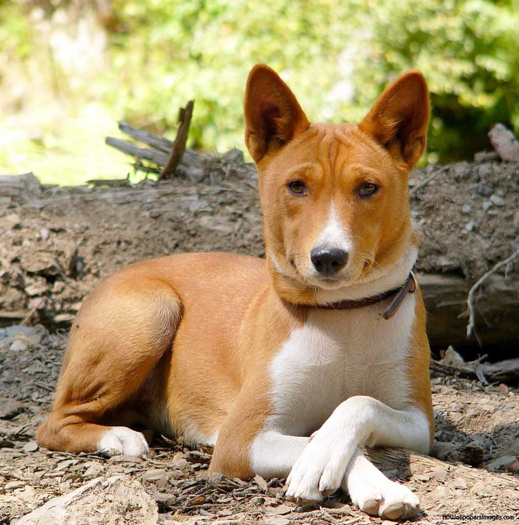 characterization of the breeds of the dog Dog (dôg, dŏg) n 1 a domesticated carnivorous mammal (canis familiaris syn canis lupus subsp familiaris) occurring as a wide variety of breeds, many of which are traditionally used for hunting, herding, drawing sleds, and other tasks, and are kept as pets 2 any of various carnivorous mammals of the family canidae, such as the dingo 3 a male.