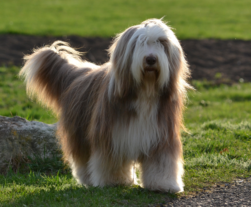 white bearded collie